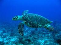 Hawksbill_turtle_3